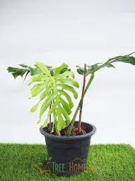 ต้นมอนสเตร่า ไจแอนท์ - Tree2Home ต้นไม้ออนไลน์ ส่งตรงถึงหน้าบ้าน
