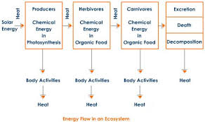 Energy Flow Chart Ecosystem Energy Flow Chart Of