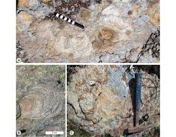 a circular morphotype of zoophycos upper bedding plane view tick
