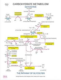 Carbohydrate Metabolism Chart Dbios Digitally Printed Carbohydrate Metabolism Educational Chemistry Wall Chart