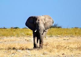 elephant symbolism meaning totem