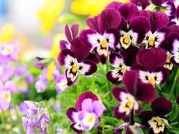desktop background hd flowers. Simple Desktop Beautiful Pansy Flowers Desktop Backgrounds Throughout Background Hd R