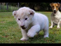newborn white lion cubs. Plain Newborn New Born White Lion Cub  Intended Newborn Cubs