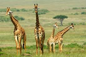 Image result for masai mara, amboseli & samburu national reserve images