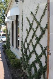 Trellis effect with ivy. This looks like wire, run through eye hooks at the  junctions, with already mature vines growing up the wires.