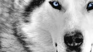 black wolf with blue eyes wallpaper. Delighful With Blue Eyes White Wolf HD Wallpaper Of Animals  Hdwallpaper2013com To Black With E