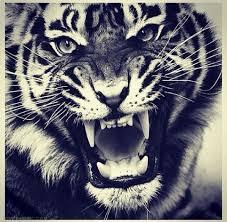 tiger roar tumblr. Modren Tumblr Tiger Throughout Roar Tumblr Q