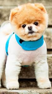 pomeranian puppy iphone background