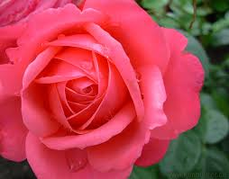 pink rose flower photograph free rose desktop image