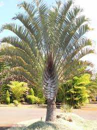 Small Palm Trees Guide Types That Grow 4 20 Feet Tall