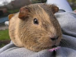 guinea pig bedding