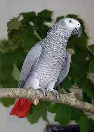 African Grey Parrot - Paradise Park