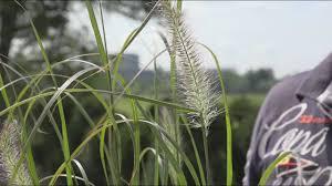 Grassen Pennisetum Welke Soorten Pennisetum Zijn Er En Hoe Snoei Je Deze Grassen