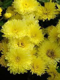 chrysanthemum yellow valour