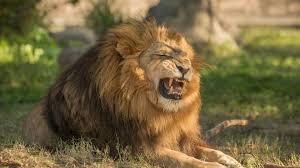 angry lion wallpaper. angry lion wallpaper background free detail