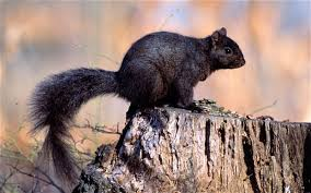 Grey Squirrel Age Chart The Rise And Rise Of The Black Squirrel Caused By Genetic