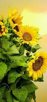 Sunflowers, sun 828x1792 iPhone 11/XR ...