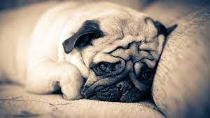 Cute Pug Backgrounds - PixelsTalk.Net