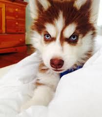 red husky puppy blue eyes.  Red Red Husky Puppy Via Pinterest Inside Husky Puppy Blue Eyes