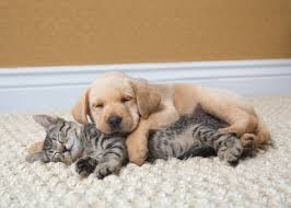 puppies and kittens sleeping. Wonderful Puppies Photograph Of A Yellow Lab Puppy And Tabby Kitten Sleeping By Mark  Rogers San Francisco Bay Area Commercial Animal Photography Specializing In  With Puppies And Kittens Sleeping