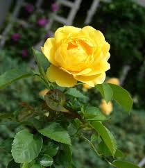 Garden Centre Kitchener Buy Lemon Zest Landscape Rose Oso Easy Lemon Zest Rose Landscape
