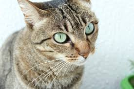 Side Effects of Tramadol for Cats   Canna-Pet®