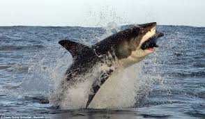 great white shark jumping at a helicopter during training. Perfect Great Leap It Is Believed That The Creatures Only Use This Technique  Lifting  Themselves Out With Great White Shark Jumping At A Helicopter During Training S