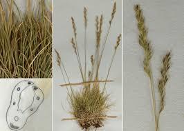 Festuca morisiana Parl. subsp. morisiana - Guida alla flora degli ...