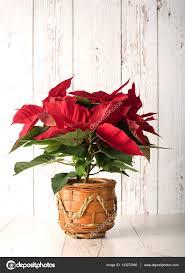 Roten Weihnachtsstern Christmas Pflanze Auf Weiß Aus Holz