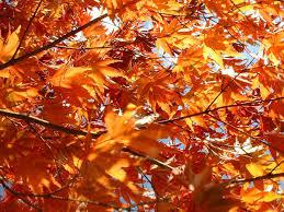 Цвета осенних листьев — Википедия