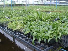 included are the plain shade houses arched houses and professional quality gable type green houses for phalenopsis and cymbidium culitivation