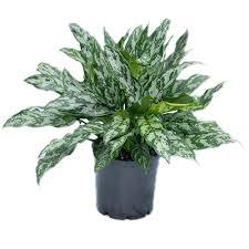 plants for sale wholesale indoor plant nursery brisbane aglaonema emerald queen brisbane office plants