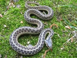 Image result for who eats dead garter snakes