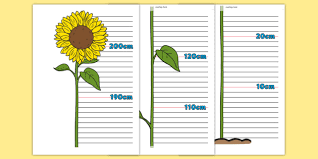 Sunflower Growing Chart Free Flower Height Chart Height Chart Height Display