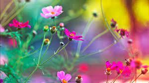 Flower Wallpapers Free Downlond ...