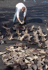 overfishing of the ocean the essay is on sharkfinning and the english noaa agent counting confiscated shark fins