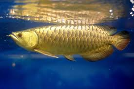 Arowana Care Compelete Guide On Types Tank Size Diet More