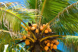 the majestic king coconut  king coconut tree