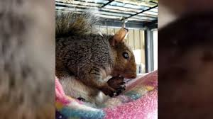 Rehabilitator says state threatening to shut her down over <b>squirrel</b>