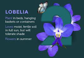 lobelia flowers are small but there are lots and lots of them on each plant creating a cascade of colour you can use them in beds and borders
