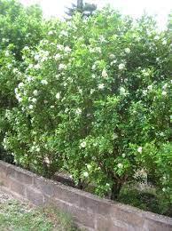 Murraya paniculata - Wikiwand