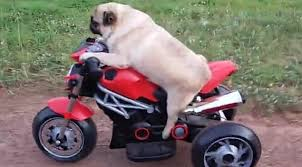 pug rides mini motorcycle just like human
