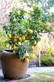 container gardening how to grow lemon