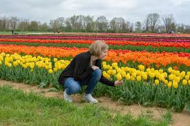 examining one of the beautiful yellow tulips at holland ridge farms tulip festival