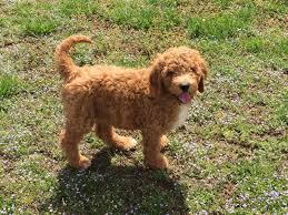 our main goal here at red dirt doodles and poodles is to raise a happy healthy well socialized puppy for you and your family to love as much as we have