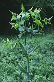Euphorbia lathyris (Caper Spruge, Mole Plant, Sassy Jack) | North ...
