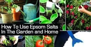 epsom salt gardening. Beautiful Gardening Epsom Salts In Garden Apply Salt Gardenias    With Epsom Salt Gardening