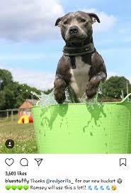 25 best Staffordshire bull terriers ideas on Pinterest