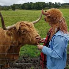 Facts Rhanbanan On Instagram happy Coosday From Two Coos To You You Would Think That The Highland Cow Is Scotlands National Animal But Actually Its Pinterest Οι 46 καλύτερες εικόνες του πίνακα Scotlands National Animal