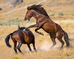 wild horses mustang fighting.  Fighting Fight Between Two Wild Horse Stallions For Wild Horses Mustang Fighting S